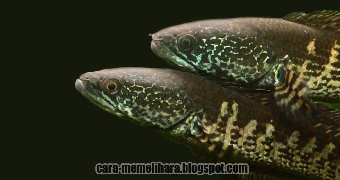 Membedakan Jantan Dan Betina Ikan Gabus