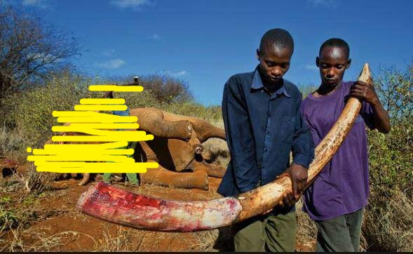 ivory trade and cina's involvement in african elephants