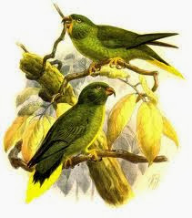 Lori palmero: Charmosyna palmarum