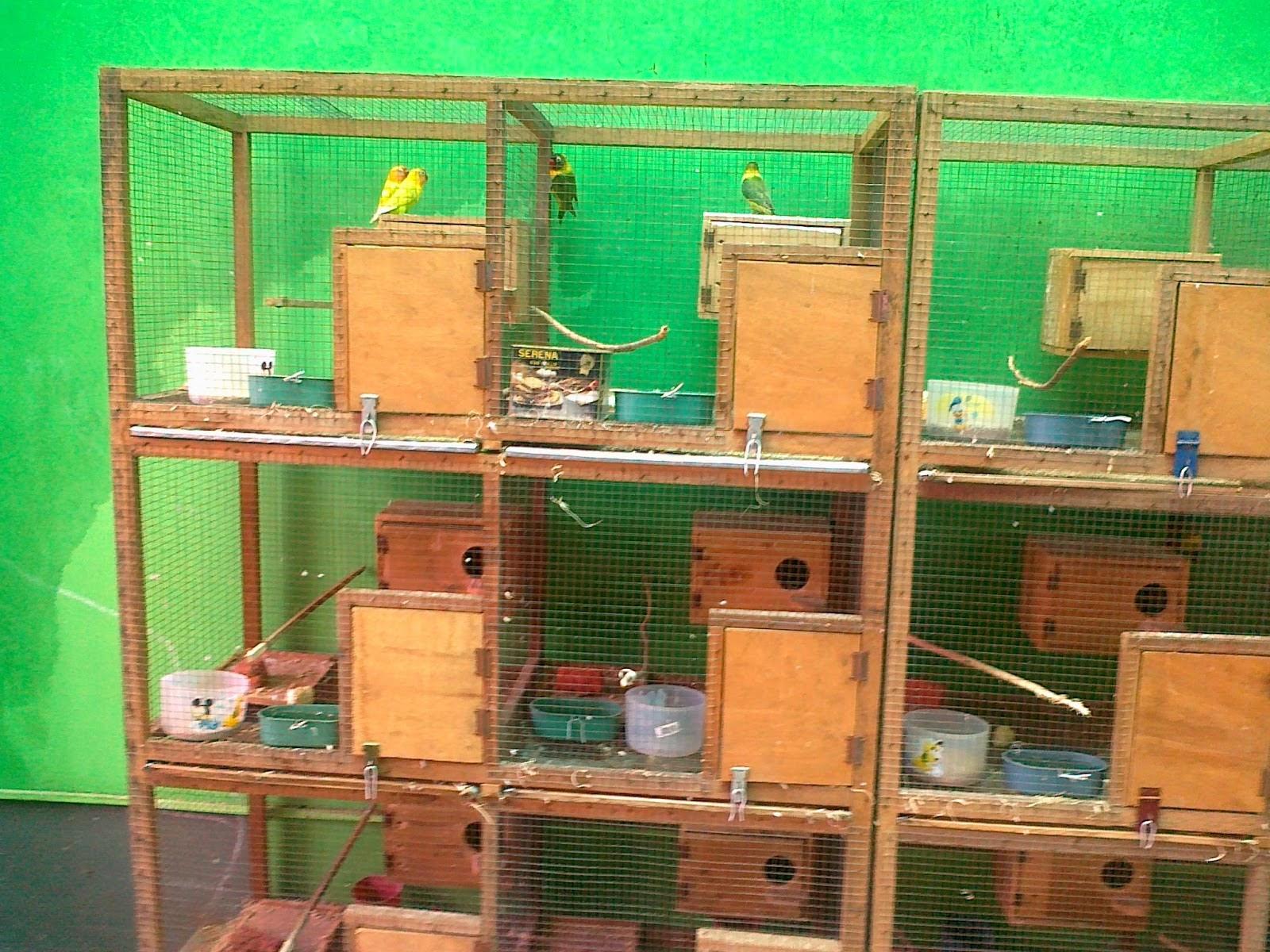 Usaha Sampingan Dengan Modal Minimal Cara Sukses Usaha Sampingan Ternak Lovebird Modal Kecil