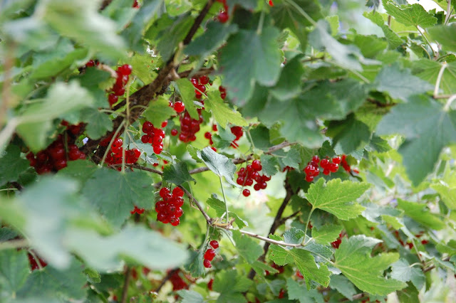 closeup of a redcurrant bush