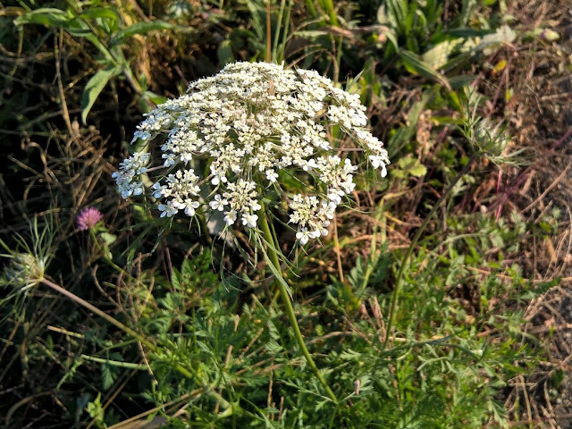 Fiore Carota Selvatica