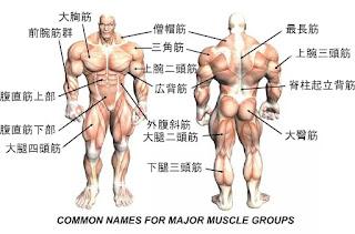 筋肉名称完全図鑑|筋トレ部位の...