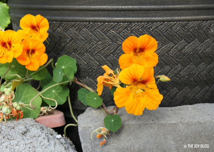How to Grow Nasturtium // WWW.THEJOYBLOG.NET
