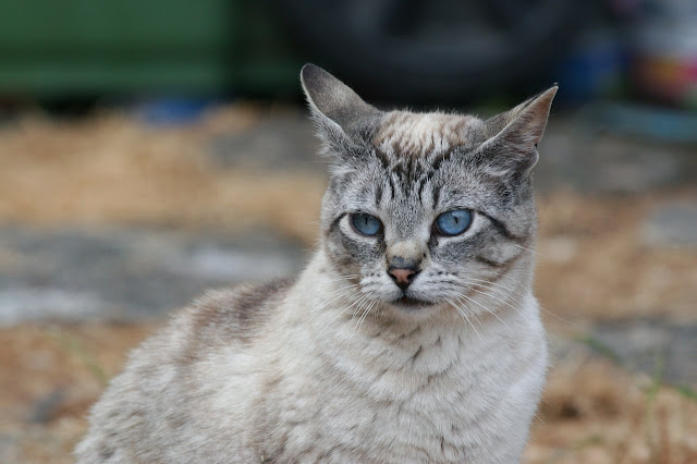 Fran the siamese former feral cat pet