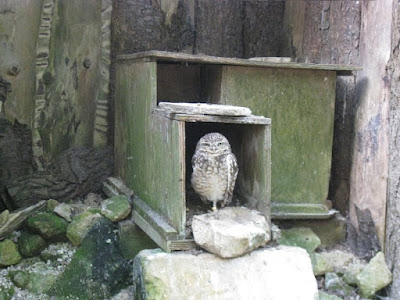 Owl at the entrance to his burrow
