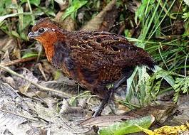 Chestnut Wood-quail