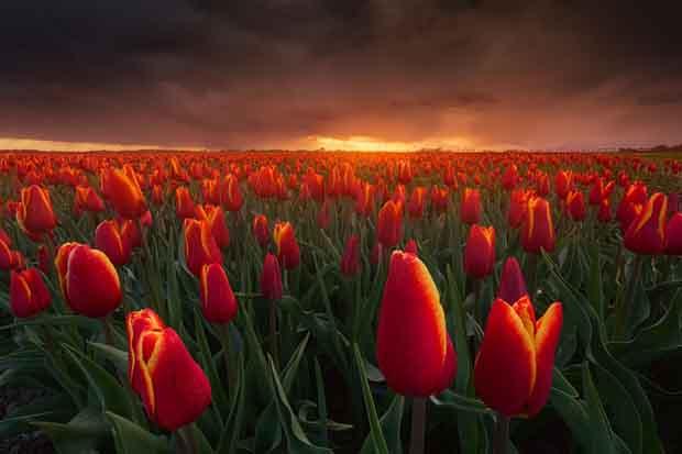 صور زهور الزنبق