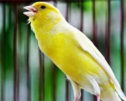 Burung Kenari, Jenis Burung Berkicau