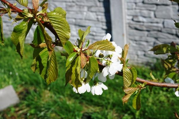 kwitnące drzewka owocowe