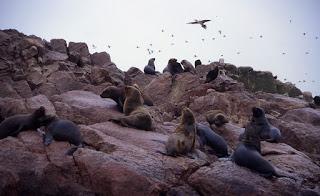 Otaries à crinière – Otaria flavescens