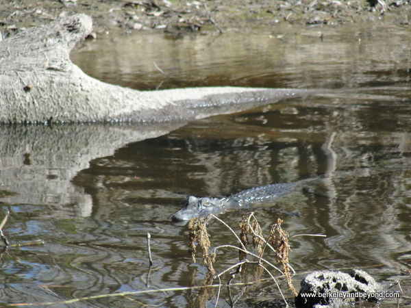 alligator spotted on Cajun Pride Swamp Tour in LaPlace, Louisiana