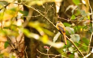 Female Malabar Trogon- Coorg, Western Ghats