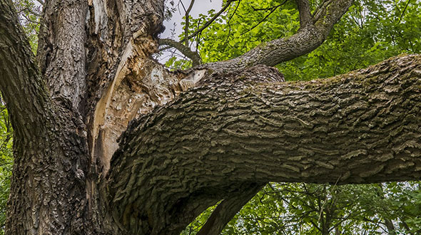 Cracked branches or tree trunks are defects that can lead to sudden toppling destruction and injury