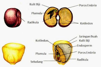 Perbedaan biji dikotil dan monokotil