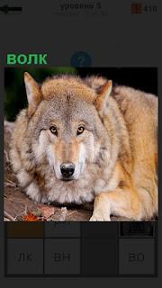 На земле лежит серый волк и смотрит прямо перед собой