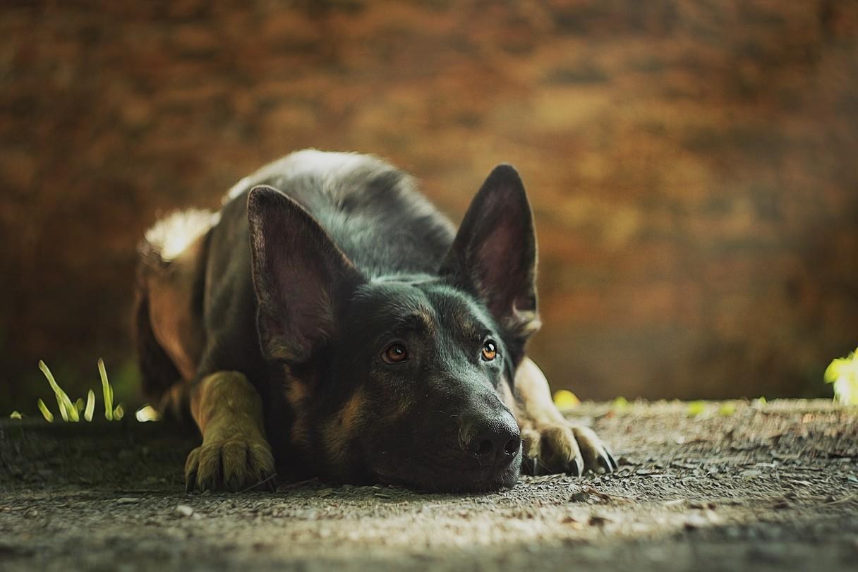 Canine Ptsd Its Causes Symptoms Amp Treatment