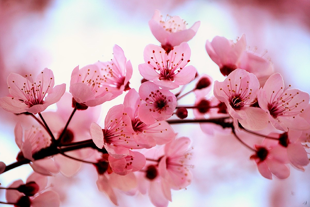 The Young Sewphisticate  DIY Cherry Blossom Tea Cakes  Image via  http   flowers kid com japanese cherry blossom flower htm