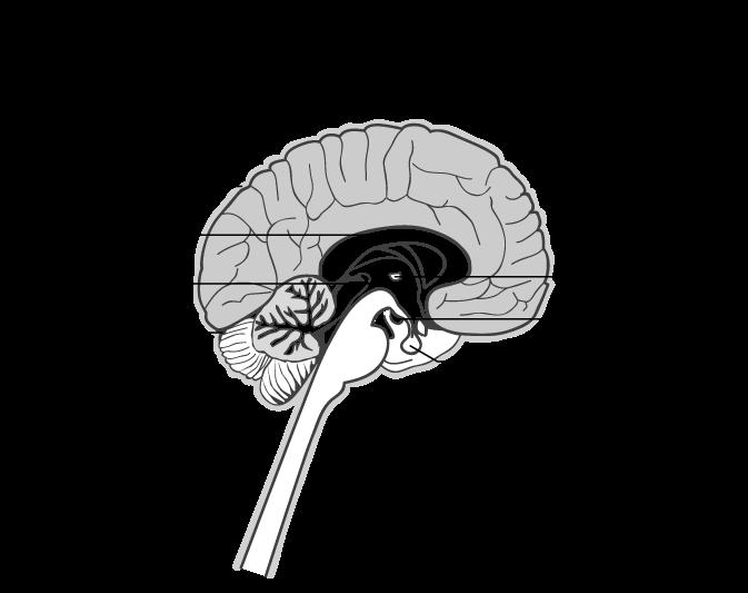 anatomie cérébrale système nerveux infirmier