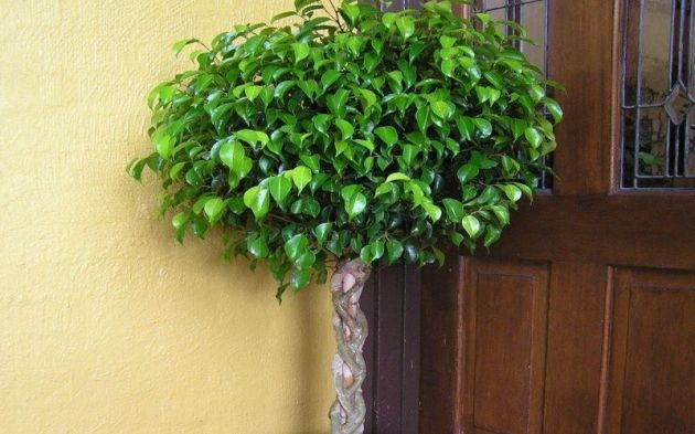 Decoraconmar a plantas de interior y otras for Ficus interior cuidados