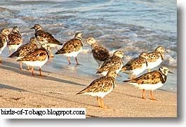 Ruddy Turnstone (Arenaia interpres) Birds of Tobago