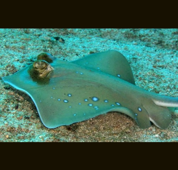 Another new blue-spotted maskray, a new species identified from a single nucleotide polymorphism