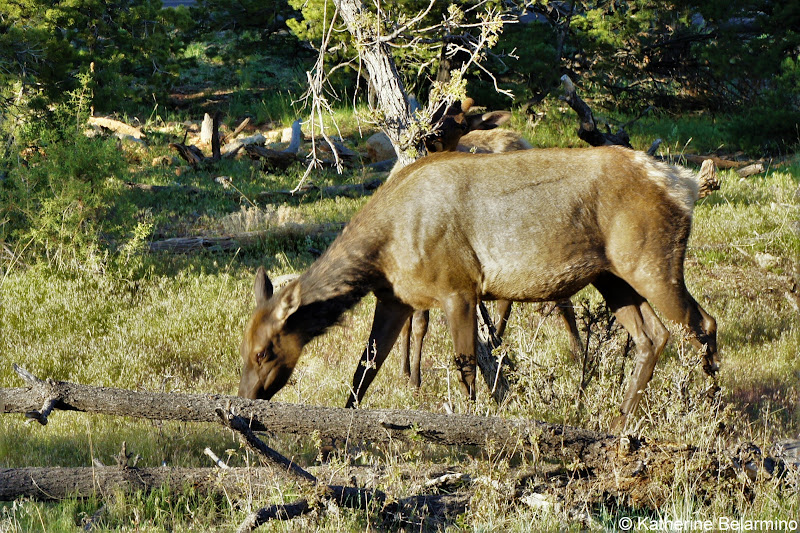 Grand Canyon Elk Things to Do at the Grand Canyon
