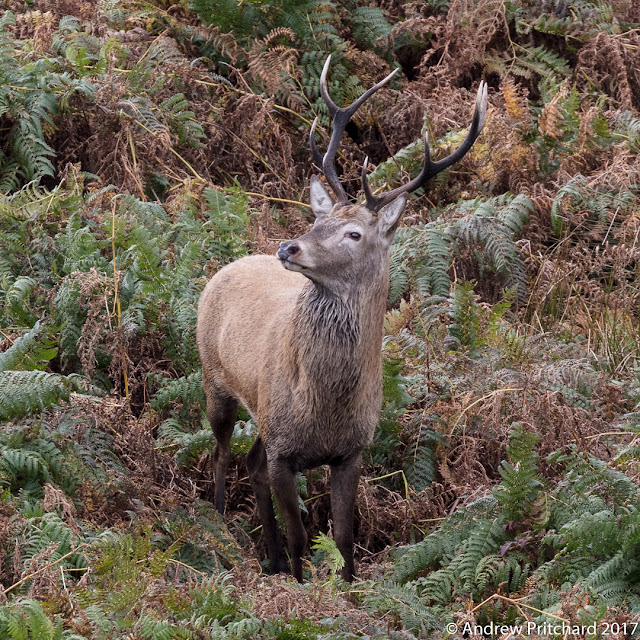 A wet lookign young stag stands amongst the bracken looking to his right.