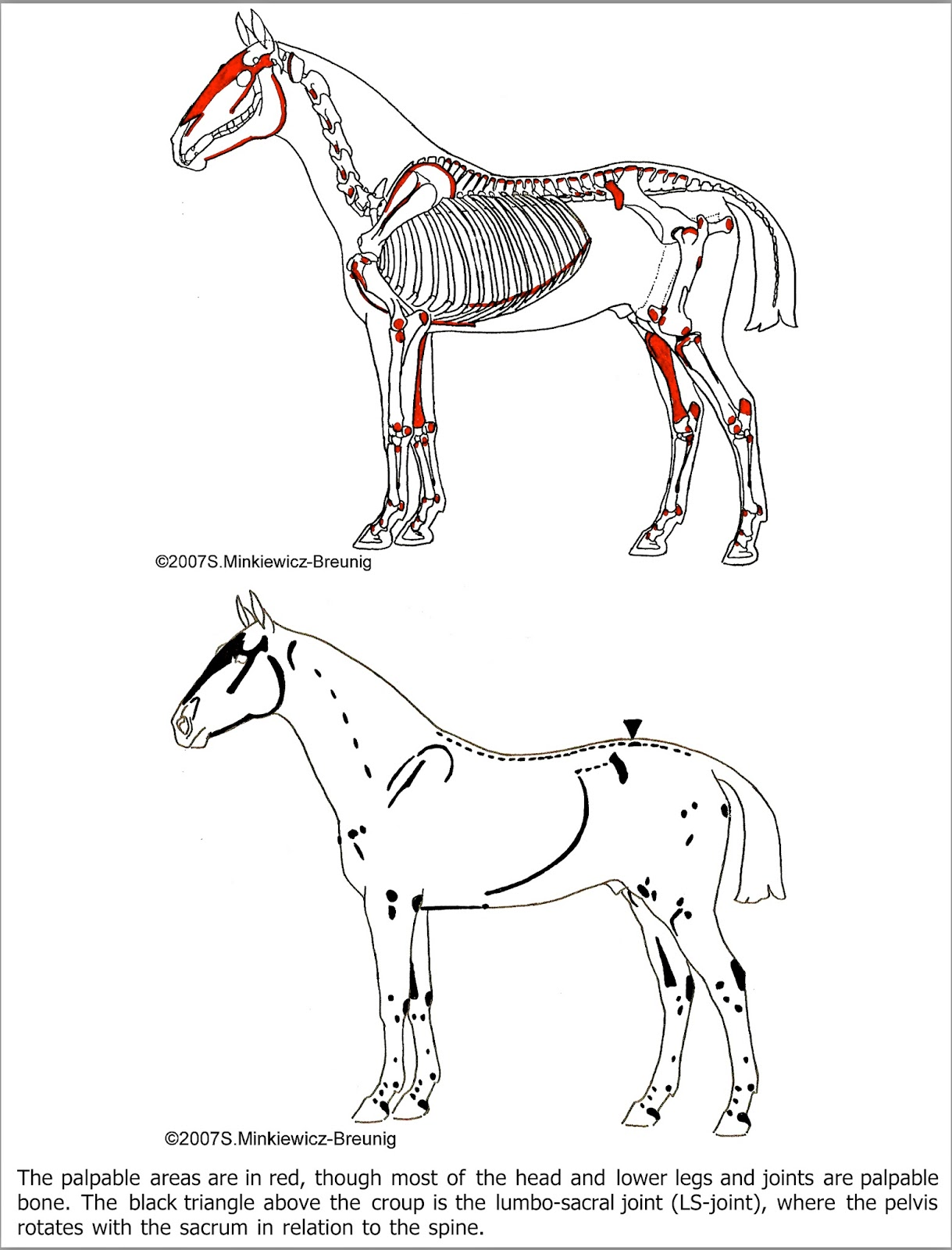Musings at Minkiewicz Studios LLC: Equine Anatomy and Biomechanics ...