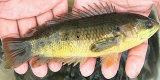 8 Khasiat Ikan Betok Untuk Kesehatan