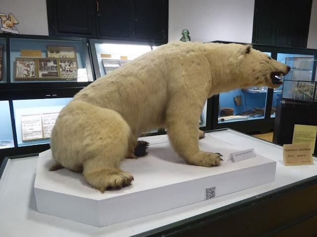 orso polare al museo di storia naturale di ferrara