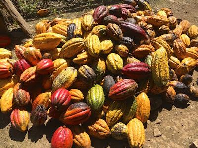 Frutti di Cacao maturi
