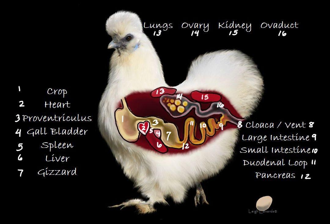 Chicken Diagram Chicken Diagram