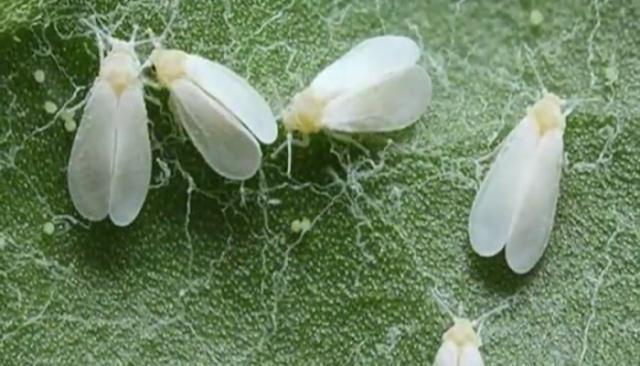 La diminuta mosca blanca