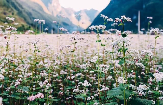Pho Cao - Attractive Buckwheat Flower Season 2