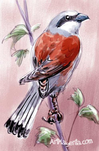 Red-backed Shrike is a bird drawing by illustrator Artmagenta