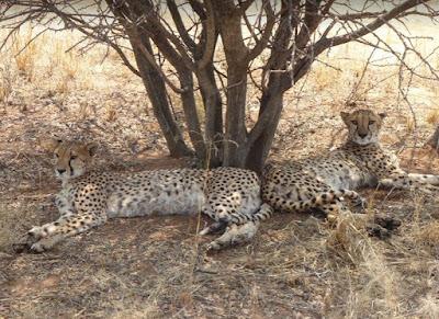 due femmine di ghepardo al cheetah conservation fund