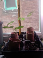 Kenaf plants are now 8in tall, developed the 2nd set of leaves