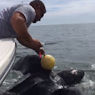 Off-Duty Florida Cops Save Leatherback Sea Turtle From Crab Trap