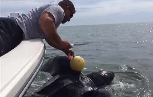A Jacksonville Sheriff's Deputy saves a leatherback sea turtle entangled in a crab trap.