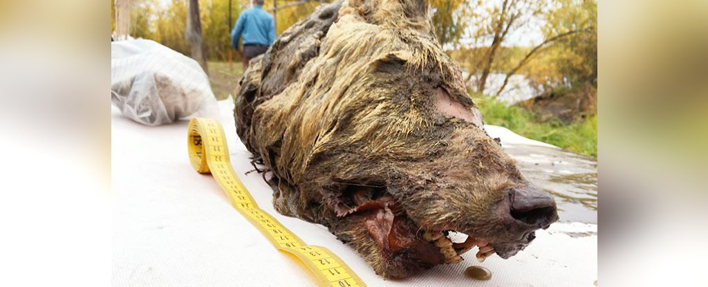 A Huge Severed Wolf Head From 40,000 Years Ago Was Discovered In Siberia