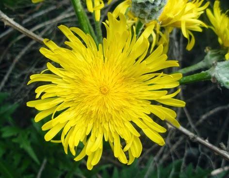 Diente de león (Taraxacum officinale) flor amarilla