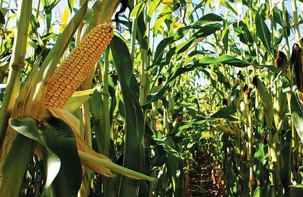 tanaman jagung berkembang biak