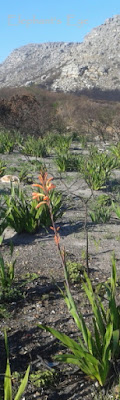 Watsonia blooming in Silvermine after the fire