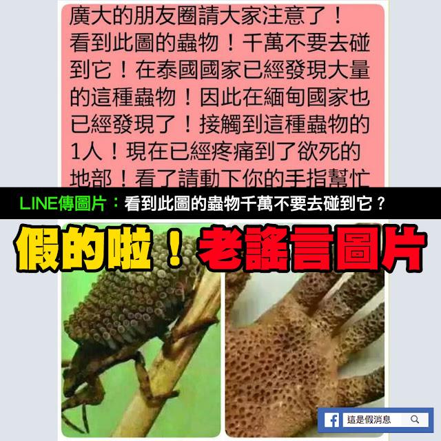 蟲物 泰國 洞洞 手 緬甸 負子蟲