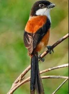 Cara Merawat Burung Cendet Balakan/Muda