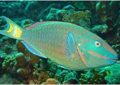 Ikan Hias Air Laut Parrotfish