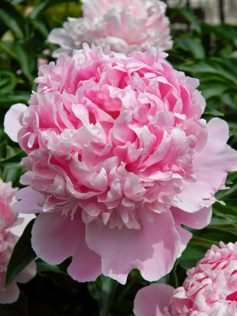 Sarah Bernhardt Paeonia lactiflora by garden muses-not another Toronto gardening blog