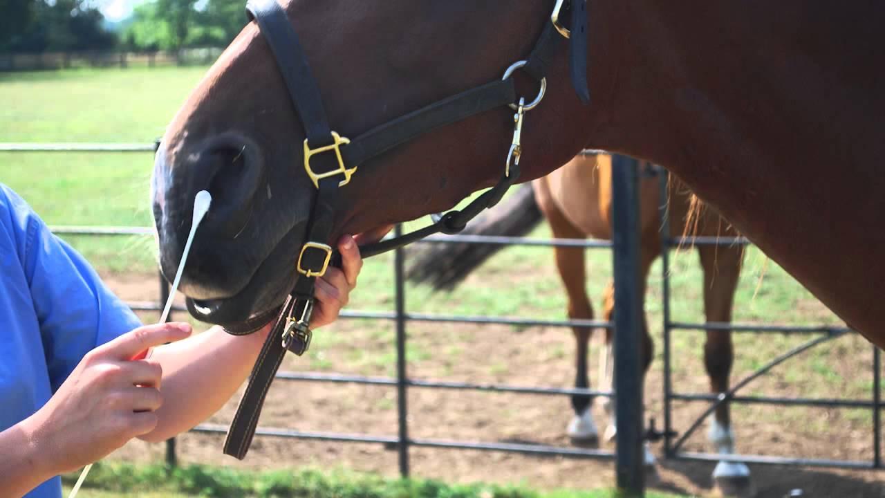 swab-cavalo-horse-equine-veterinary-nose-narina-exame-coleta