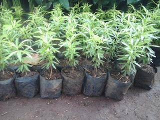 bibit lavenda